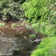 泉にカワセミ