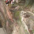Photo_1春日大社ご神木の木の根